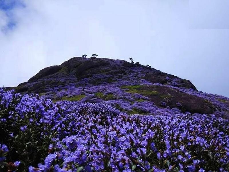 Neelakurinji Flowering Season 2018-When Munnar Blooms Blue in 2018